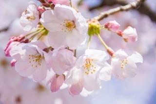 舶来亭 桜